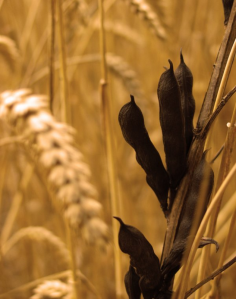 The straw and the wheat